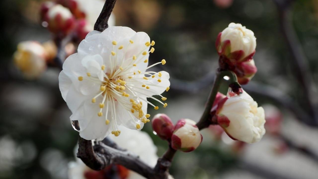 松本市梅開花